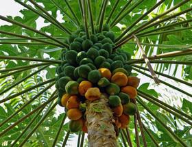 کشت پاپایا در ایران | میوه لوکسی که از هاوایی به یزد رسید