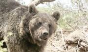خوابآشفته خرسهای آهار   حیوانات گرسنه برای تأمین غذا به روستاهای شمیران هجوم میآورند