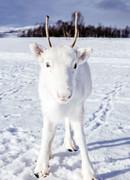مشاهده یک گوزن سفید نادر در نروژ