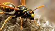 سم زنبور جایگزین آنتیبیوتیک میشود