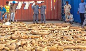 کشف ۱۰۲۶ قطعه عاج فیل موزامبیکی در کامبوج