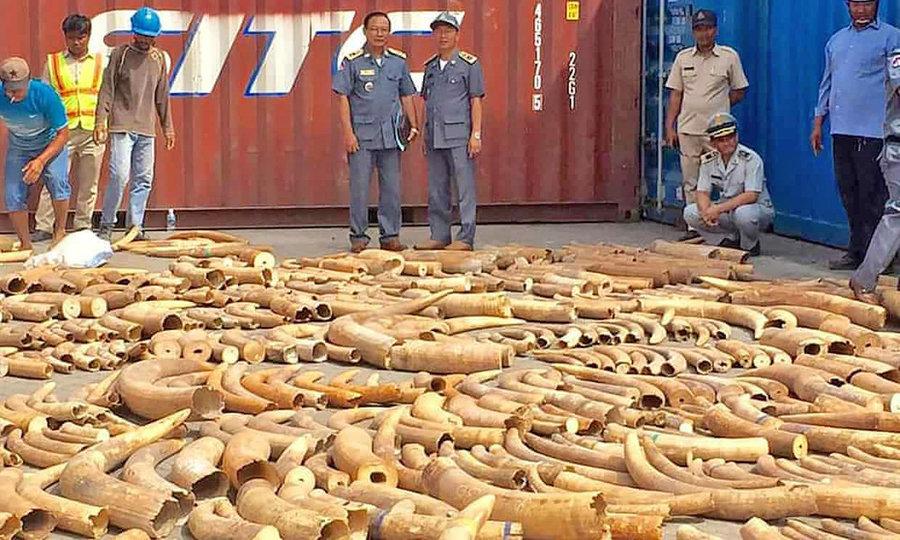 كشف عاج فيل قاچاق در كامبوج