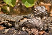 نجات جان پرندگان در حال انقراض با پهپاد