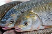 دی اکسید کربن عامل اختلال در حس بویایی ماهی قزلآلا
