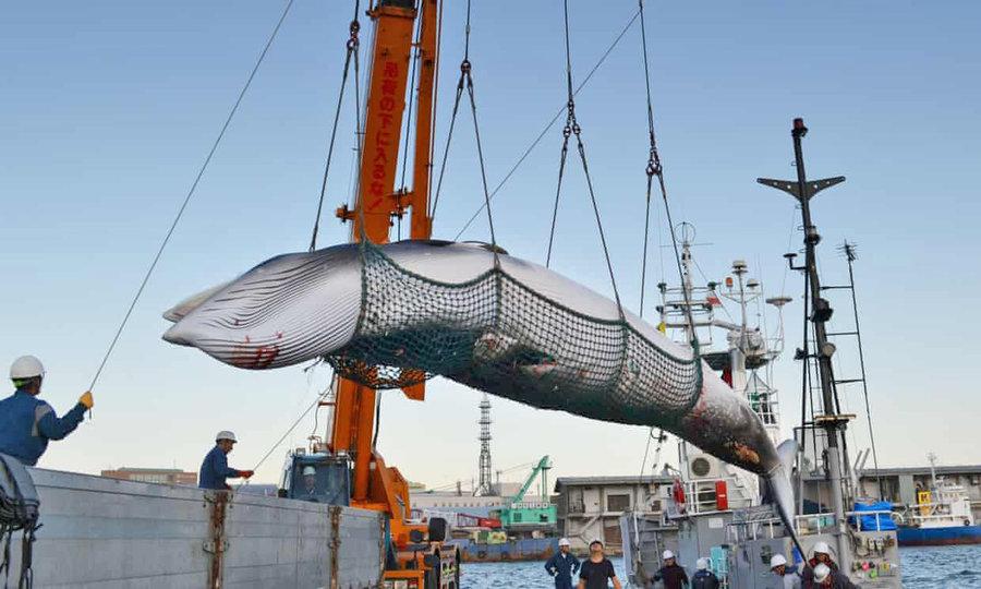 شكار نهنگ در ژاپن