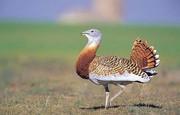 زندگی سنگینترین پرنده ایران بسته به یک تار مو
