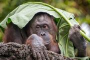 اورانگوتانها از خاطرات قدیمی صحبت میکنند