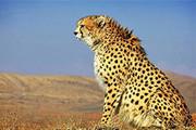 عاصی شدن یوزپلنگها از سگهای خراسانشمالی