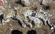 شکارچی پلنگ رودبار بازداشت شد