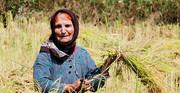 مخالفت مجلس با ممنوعیت کشت برنج در استانهای غیر شمالی