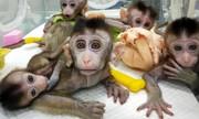 عکس روز: میمونهای شبیهسازی شده