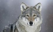فیلم | گرگها و شکار جمعی
