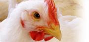 کاهش قیمت مرغ از نیمه فروردین سال آینده