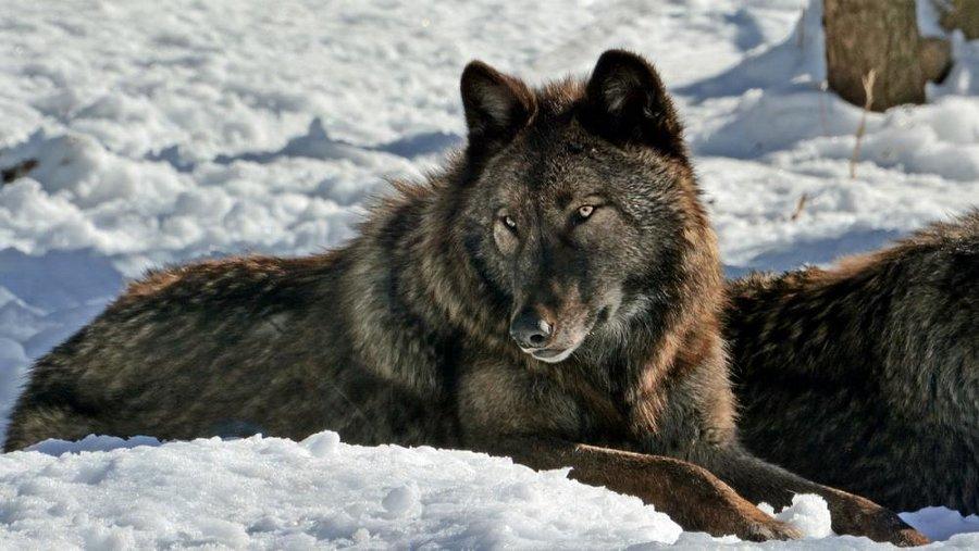 چگونه ترس از گرگها به بحث سیاسی در آلمان بدل شد؟