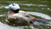 توجه بیشتر به اردک و مرغهای بومی گیلان