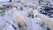 فیلم| حمله خرسهای قطبی
