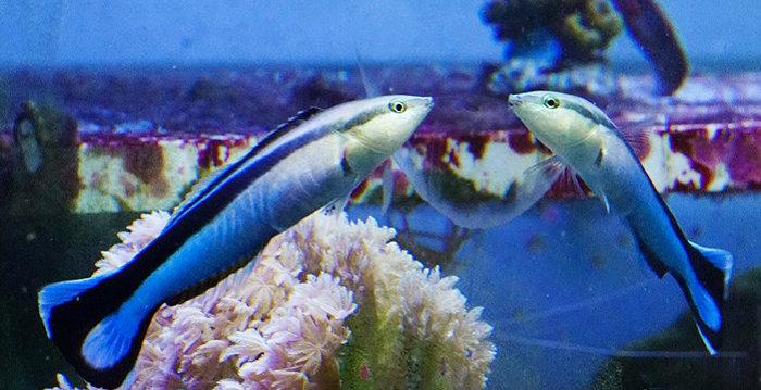 ماهی Labroides dimidiatus