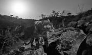 پلنگ سیاه پس از یک قرن در آفریقا دیده شد