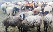 دامهای سبک تا پایان سال اسدآباد شناسنامهدار میشوند