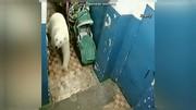 هراس روسها از ورود روزافزون خرسهای قطبی به مناطق مسکونی
