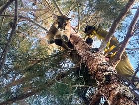 عکس روز: شیر کوهی بالای درخت