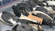 بررسی علت مرگ پرندههای دریایی در شمال هلند