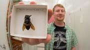 بزرگترین زنبور جهان کشف شد