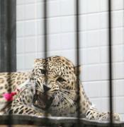 ماده پلنگ ایرانی باغ وحش تهران باردار شد
