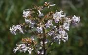 یافته جدید محققان؛ درمان آلزایمر با گیاه دارویی یربا سانتا