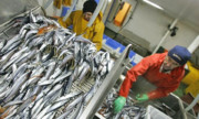 تاثیر افزایش دمای اقیانوسها بر کاهش جهانی ذخایر ماهی
