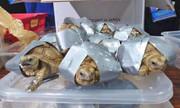 کشف ۱۵۰۰ لاکپشت چسبخورده در چهار چمدان مشکوک