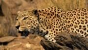 خطر انقراض پلنگهای البرز