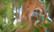 نادرترین گونه اورانگوتان جهان قربانی نیروگاه چینی میشود