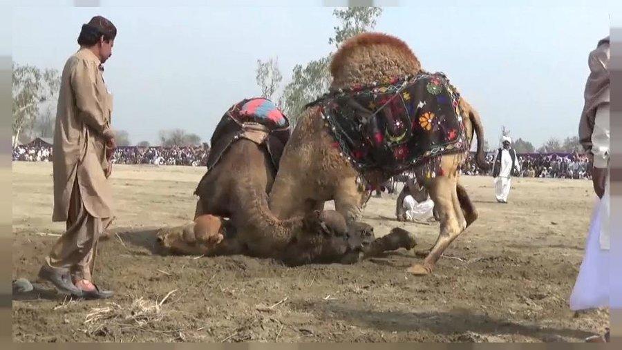 نبرد شترها در شهر لیه پاکستان