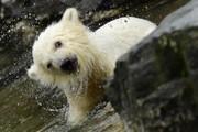 عکس روز: توله خرس قطبی