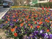 کاشت گل در قلب پایتخت