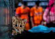 عکس روز: توله پلنگ و قاچاقچیان