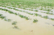 خسارتِ ۳۵۰ میلیارد ریالی سیل به کشاورزی اصفهان