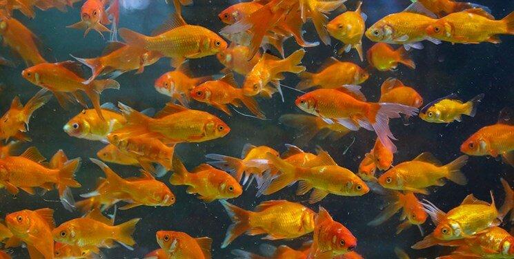 رهاسازی ماهی قرمز در طبیعت عامل انتشار بیماری است