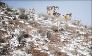 تلف شدن وحوش در پارک ملی گلستان بر اثر سیل یا سرما