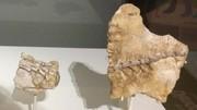 نخستین نمایش بقایای چند دایناسور