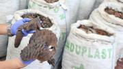 کشف و ضبط محموله بزرگ فلس مورچهخوار پولکدار در سنگاپور