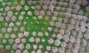 عکس روز: شکوفههای بهاری