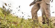 هجوم ملخها به جنوب کشور ارتباطی با سیل ندارد