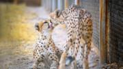 موفقیت لقاح یوزپلنگ ایرانی تا ۶٠ روز آینده مشخص میشود