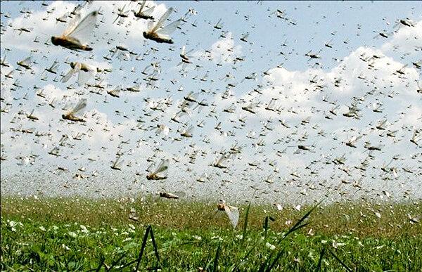 افزایش مساحت زمینهای در معرض حمله ملخ