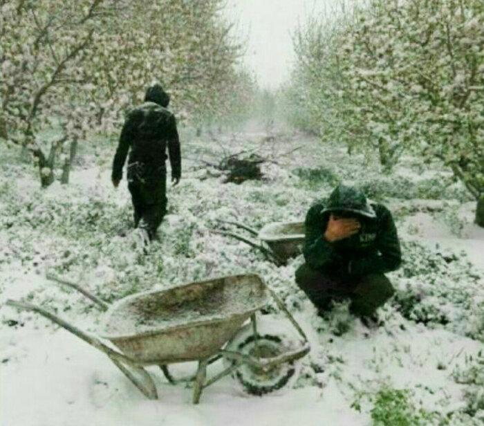 برف بهاري كشاورز