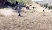ملخهای صحرایی ۱۵ هزار هکتار در سیستان و بلوچستان را آلوده کردند