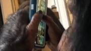 فیلم| شمپانزه حرفهای اینستاگرام