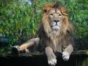 شیر ایرانی به خانه بازگشت